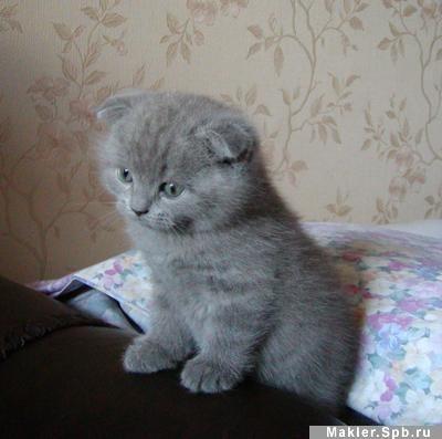 """""""вислоухие и британские котята """" в разделе  """"Кошки """""""